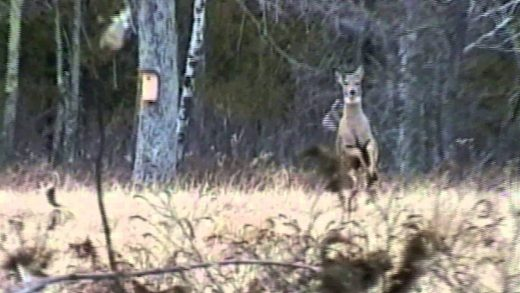 Bowhunting Whitetail Deer – Does on the Run